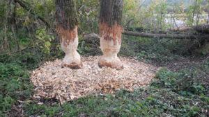 illustration arbre rongé crédit photo: dénis ablitzer